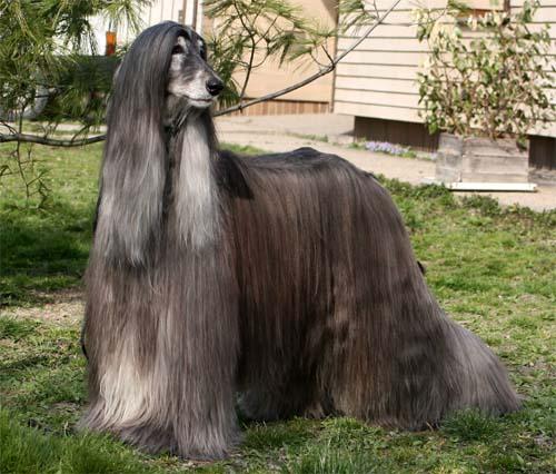 Afgánský chrt se vzrůstem řadí k velkým plemenům dosahujícím výšky až 74 cm  v případě psa 3460fc5d0f